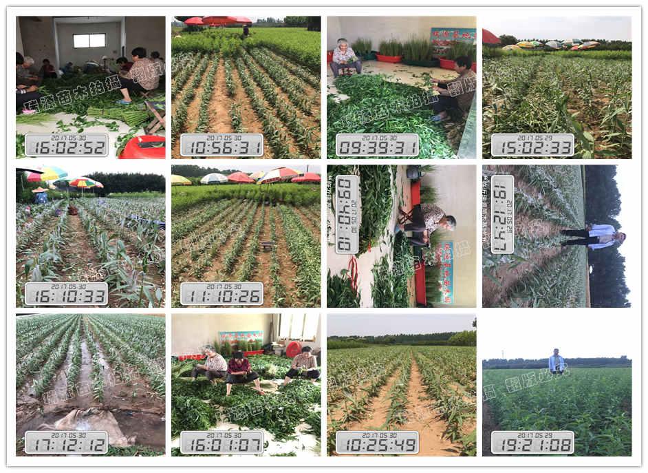 内江潍坊黄桃苗哪里有_山东晚熟桃优良品种种植基地