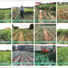 盆栽桃树苗新品种价格_盆栽桃树苗新品种价格新品种桃树苗介绍图片