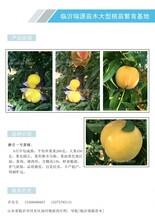 红肉油蟠桃新品种_红肉油蟠桃新品种新品桃树苗价格图片