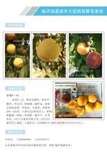 鶴壁山東早熟品種桃樹苗_冬桃山東品種特點桃樹苗新品種