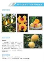 連云港晚熟桃樹苗哪種好_黃毛桃蟠桃苗價格多少錢