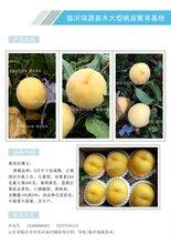 無錫極晚熟桃什么品種好_無錫圖片介紹
