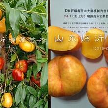 油蟠桃品种,蟠桃新品种,早油蟠桃树苗图片