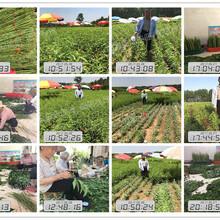 上海南汇区黄桃树苗、蟠桃苗出售图片