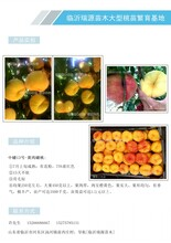 蟠桃树苗,黄油蟠桃品种,蟠桃新品种图片