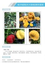 锦绣黄桃苗树苗多少钱蟠桃品种哪个好图片