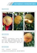 黄油蟠桃品种,蟠桃苗品种,河北蟠桃苗图片