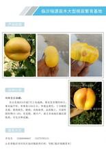 有适合北方黄桃品种么2O15最优秀的晚熟桃品种图片