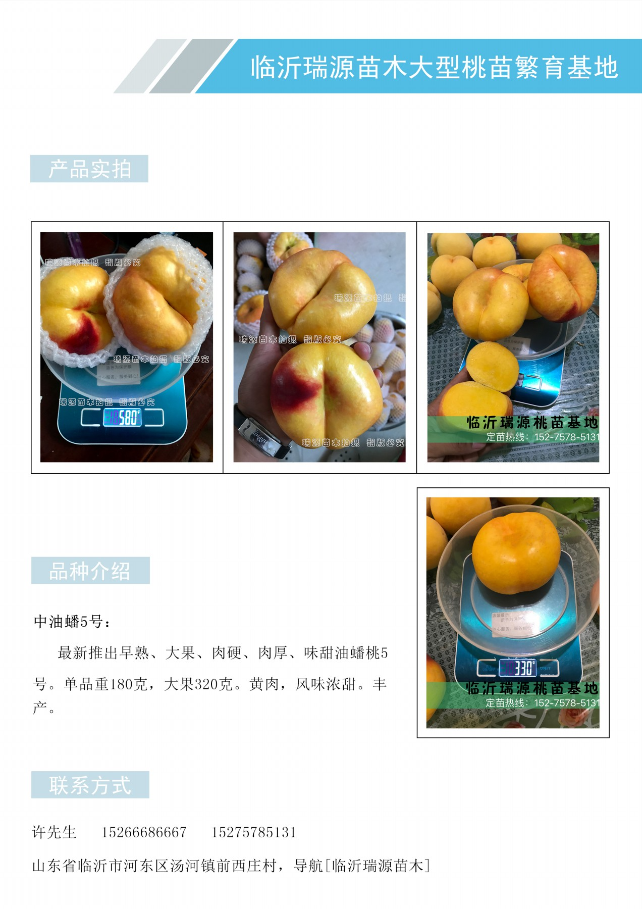 天津油蟠桃苗晚熟雪桃品种