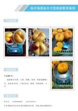 早油蟠桃苗,黄油蟠桃品种,黄蟠桃品种图片
