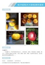 红油蟠桃品种,蟠桃树苗批发,油蟠桃树苗图片