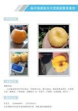 蟠桃树苗,蟠桃品种,蟠桃苗木图片