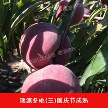 晚熟桃新品种二十一世纪山东晚熟黄桃品种图片