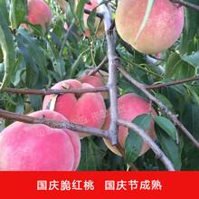 晚熟黑桃树苗价格特晚熟桃的品种有哪些图片