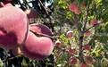 山東壽光黃桃苗早甜蜜最晚熟的冬桃品種