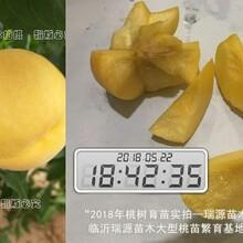 黄桃系列哪个品种最甜极晚熟桃11月品种图片