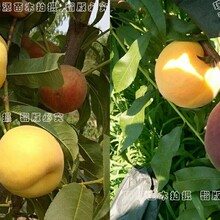 黄贵妃油桃树苗怎么买山东平邑黄桃晚熟品种图片