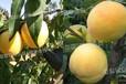 普洱咸陽哪里有賣黃桃樹苗_普洱新品種桃樹苗介紹
