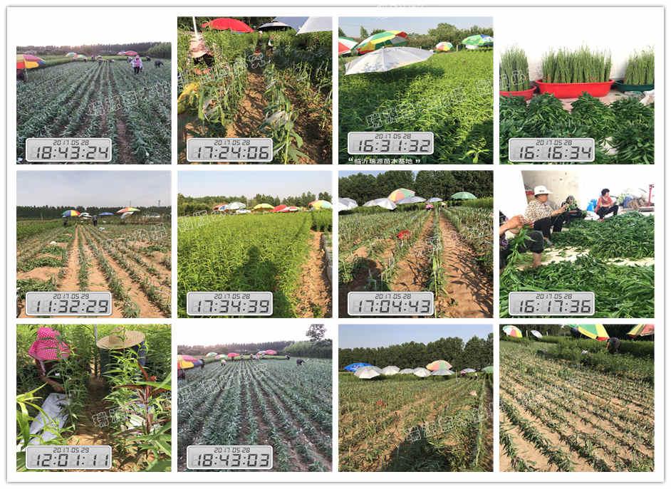 40元一棵的晚熟黄桃苗_种植基地_图片介绍