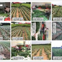 易种植的晚熟高产桃苗_易种植的晚熟高产桃苗桃树苗价格图片