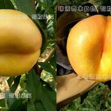 黄桃早熟晚熟品种_桃树苗价格_新品种桃树苗介绍图片