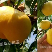 青桃晚熟品种巨无霸_桃树苗新品种_新品桃树苗价格图片