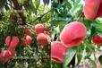 咸陽黃桃苗、桃樹苗批發、新品桃樹苗價格