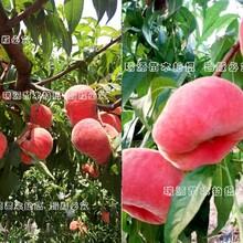 临沂晚熟桃苗基地、桃树苗多少钱一棵、桃树苗多少钱一棵图片