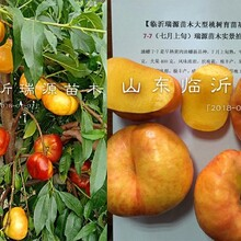 晚熟桃樹苗品種出售_品種特點_圖片介紹圖片