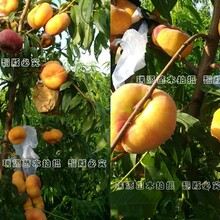 锦绣黄桃苗价格6、品种市场前景、种植基地图片