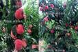 禮泉縣黃桃樹苗、新品種桃樹苗介紹、桃樹苗基地出售