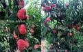 禮泉黃桃品種大全介紹、利潤大、價格及介紹