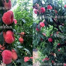晚熟桃苗新品种基地_晚熟桃新品种_中晚熟硬度好的新品种桃那里有图片