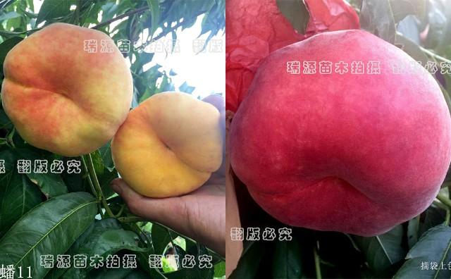 早熟油蟠桃树苗新品种中油蟠9号、哪个好、新品种价格