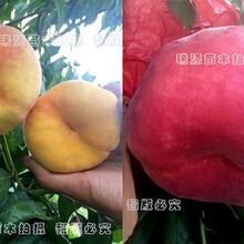 黄桃新品种类是哪些、介绍及简介、哪里有出售图片