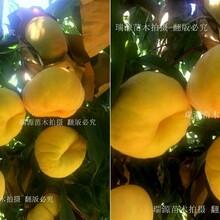 晚熟桃品种沂蒙霜红_晚熟桃品种沂蒙霜红图片介绍图片