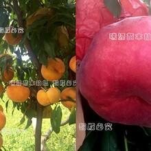 晚熟桃苗新品种批发_晚熟桃苗新品种批发早熟品种介绍图片