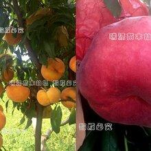 榆林金霞早油蟠桃品種介紹_榆林桃樹苗圖片圖片