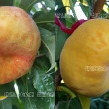 晚熟品种桃分类、桃树苗多少钱一棵、品种怎么样图片