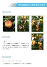 巴基斯坦晚熟黃桃品種_晚熟桃樹苗價格_晚熟油潘桃品種圖片
