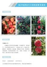 晚熟冬桃好吃吗、桃树苗介绍、介绍及简介图片