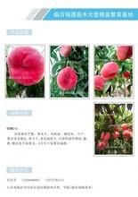 冬桃树苗什么时候栽、桃树苗批发、新品桃树苗价格图片