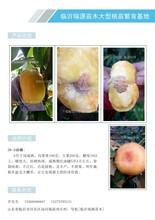 晚熟桃有那几个品种_晚熟桃有那几个品种桃树苗图片图片