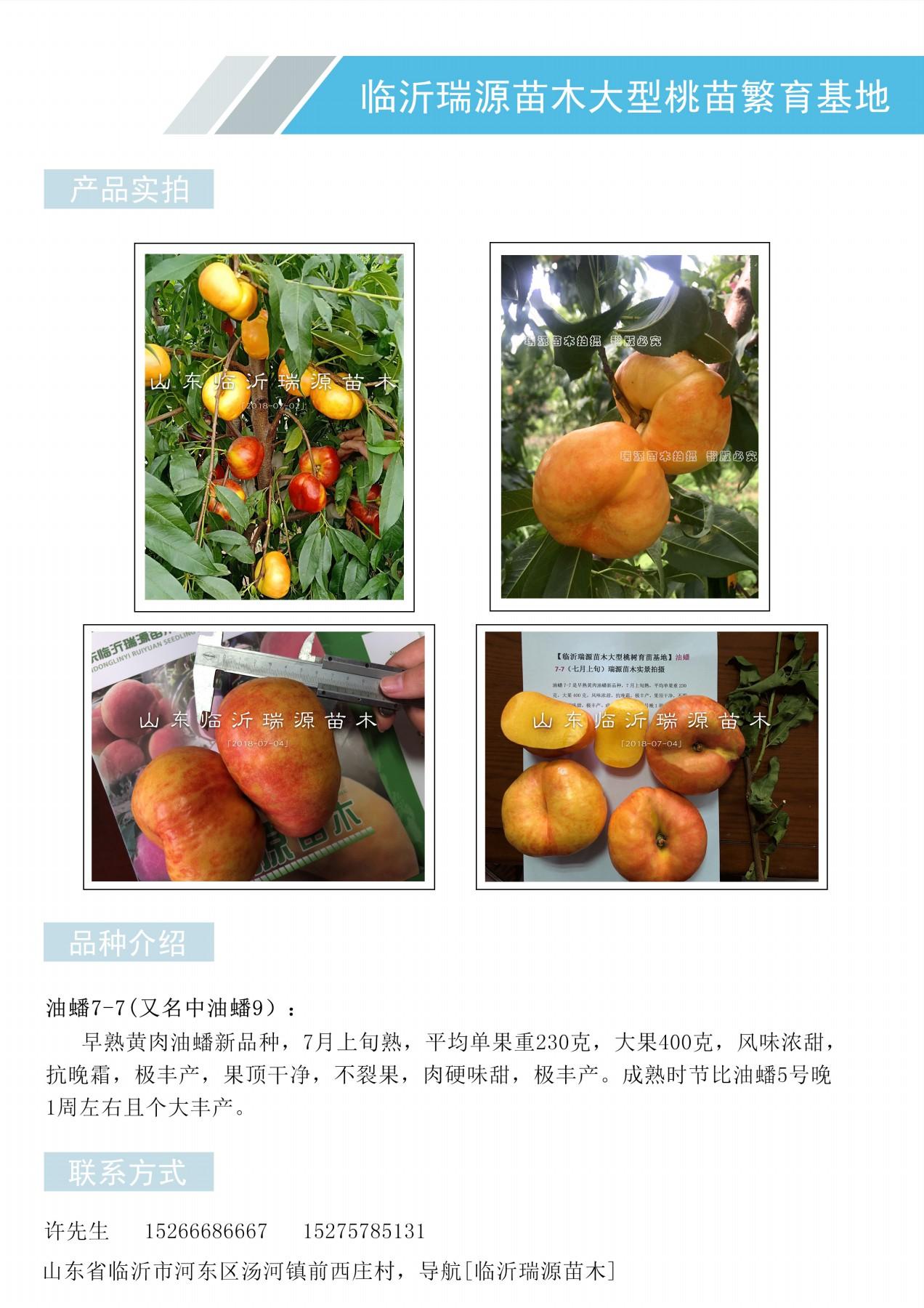 百色黃桃樹苗找臨沂瑞源苗木_百色品種簡介