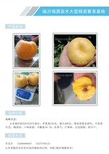 河南晚熟桃樹苗_晚熟桃子樹苗_優質的桃晚熟品種圖片