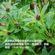七叶一枝花育苗方法云南楚雄重楼价格是多少钱一斤图片