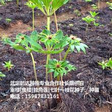 重楼_滇重楼种子_云南独角莲种苗市场价格图片
