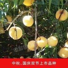 山东青州冬桃苗在哪买_山东青州冬桃苗在哪买桃树苗图片图片