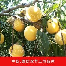 没有毛的黄桃是什么品种_没有毛的黄桃是什么品种品种简介图片