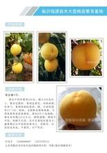 瑞源冬桃晚熟桃品种介绍_瑞源冬桃晚熟桃品种介绍价格及介绍图片